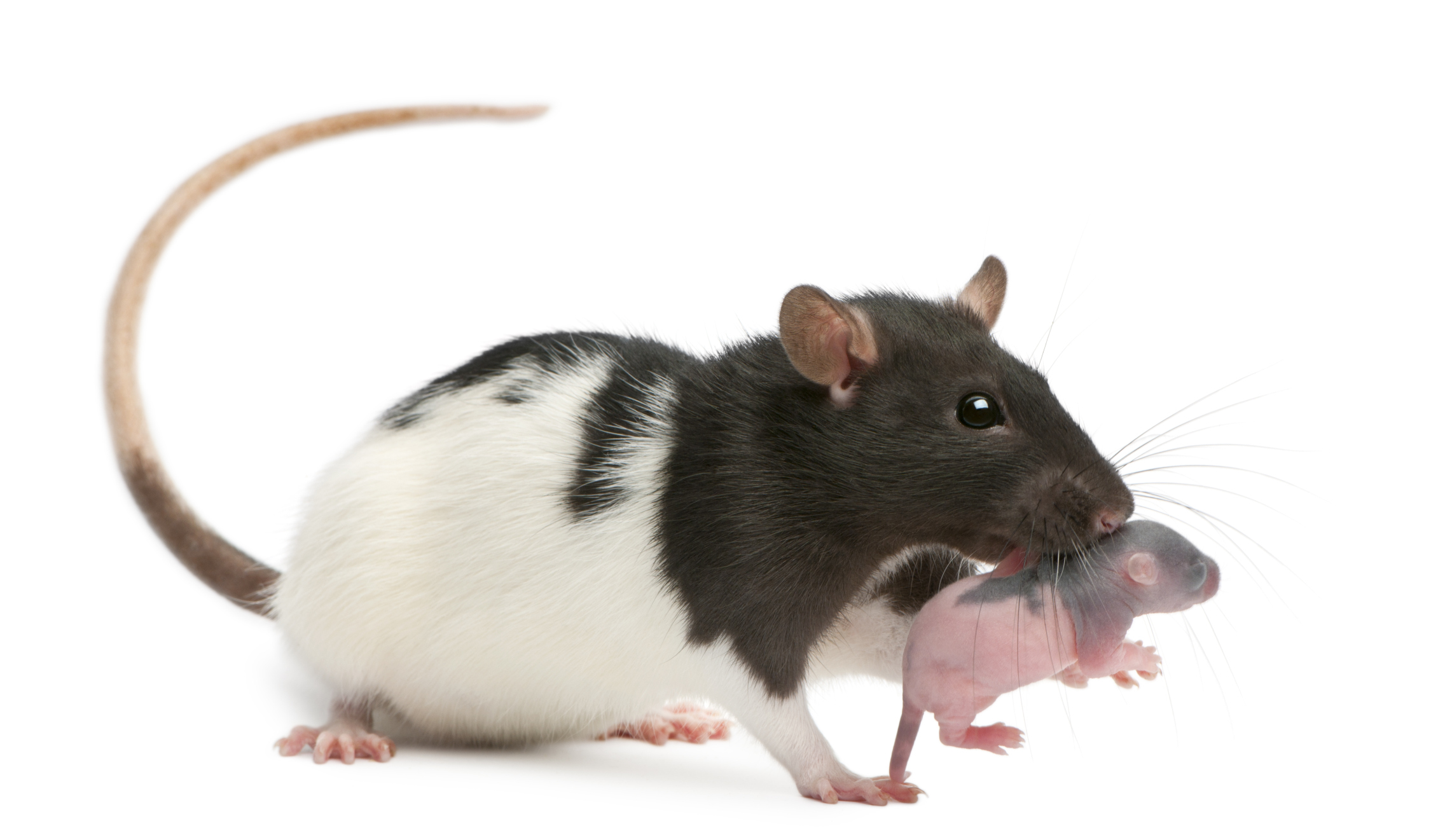 Pro potkany