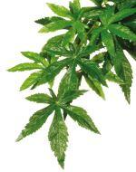 Rostlina EXO TERRA Abuliton malá 40cm